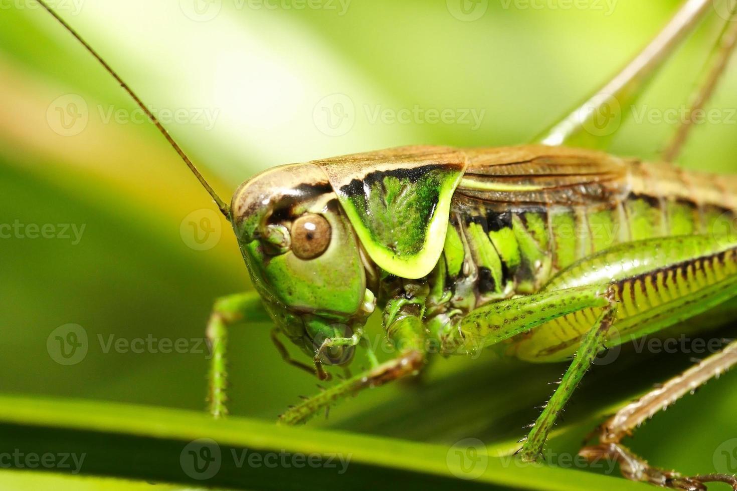 Heuschrecke metriopetera roeselii foto