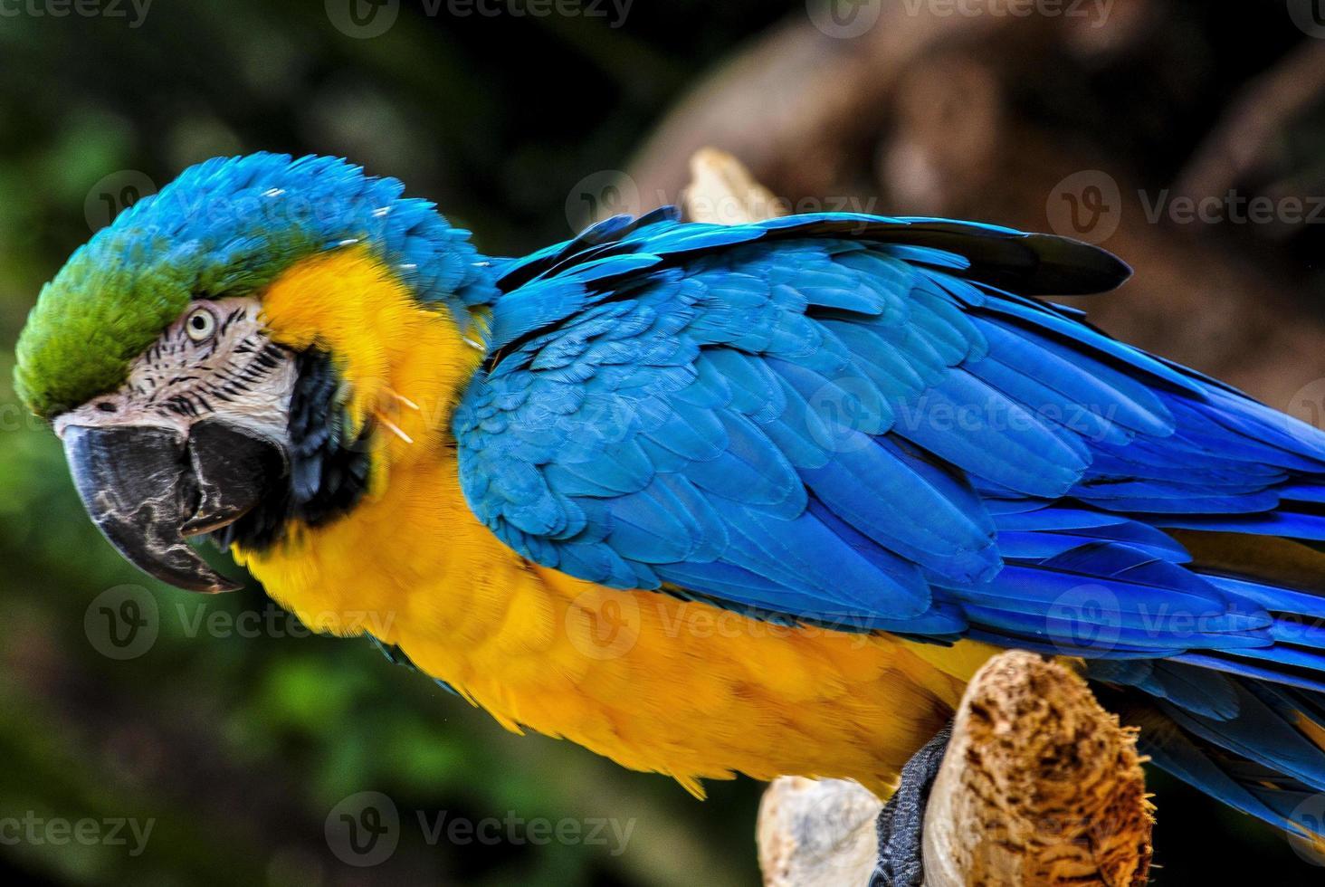 brasilianischer Papagei foto
