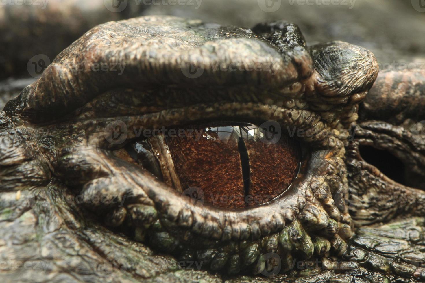 Kaiman mit glatter Front (Paläosuchus trigonatus). foto