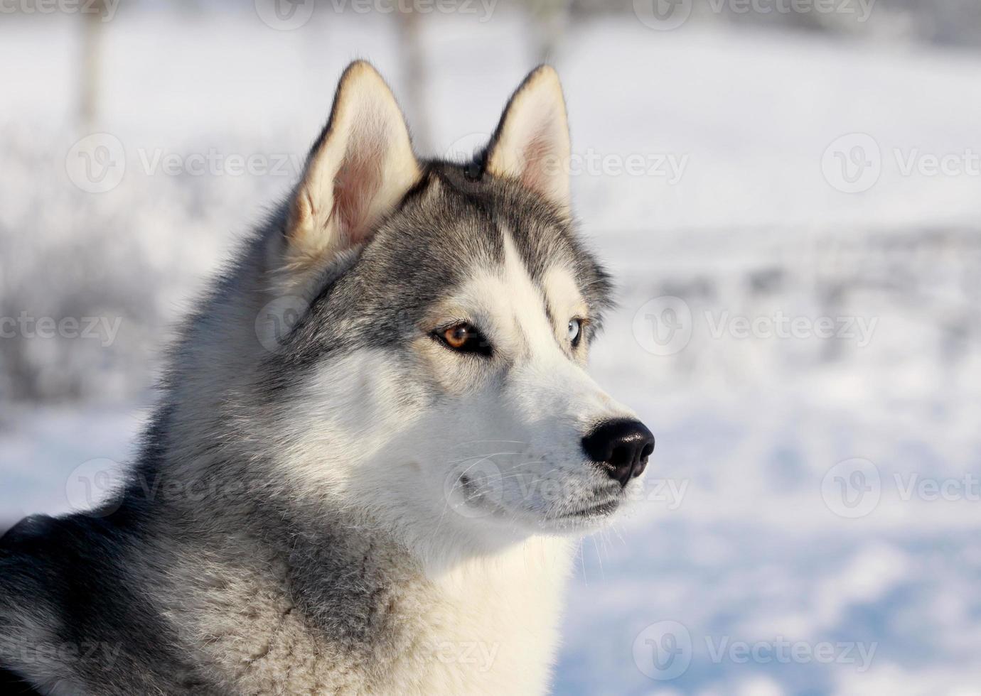 Husky-Hund in einer schneebedeckten Winterlandschaft foto