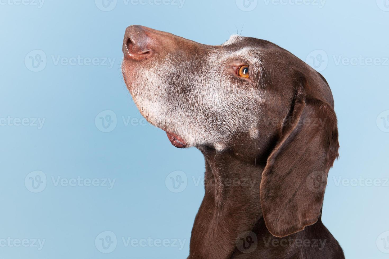 Porträt alter Hund foto