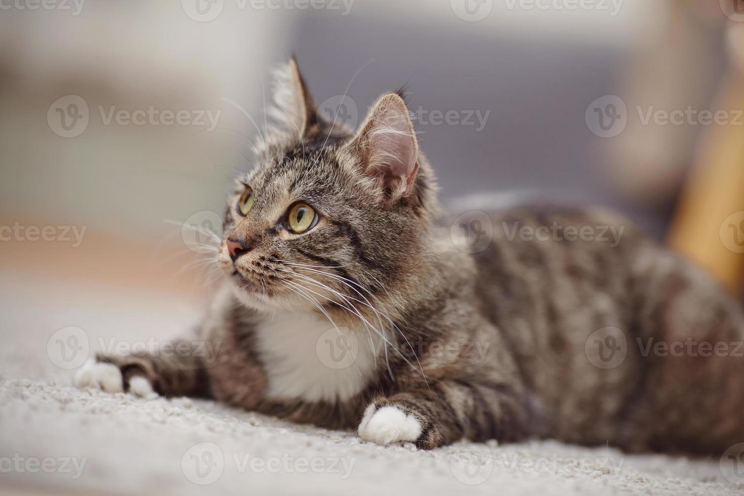 Porträt der interessierten Katze einer gestreiften Farbe foto