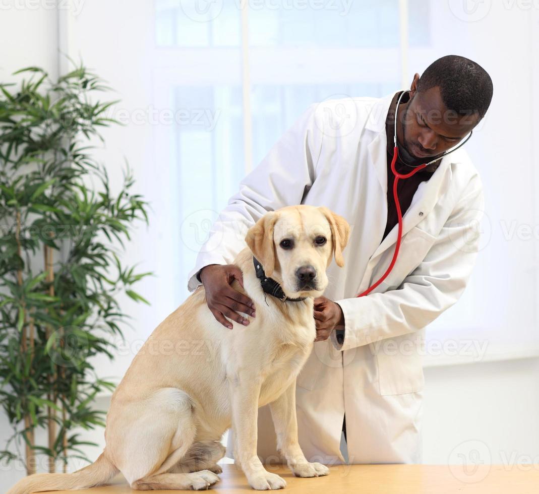 Tierarzt untersucht Labrador foto