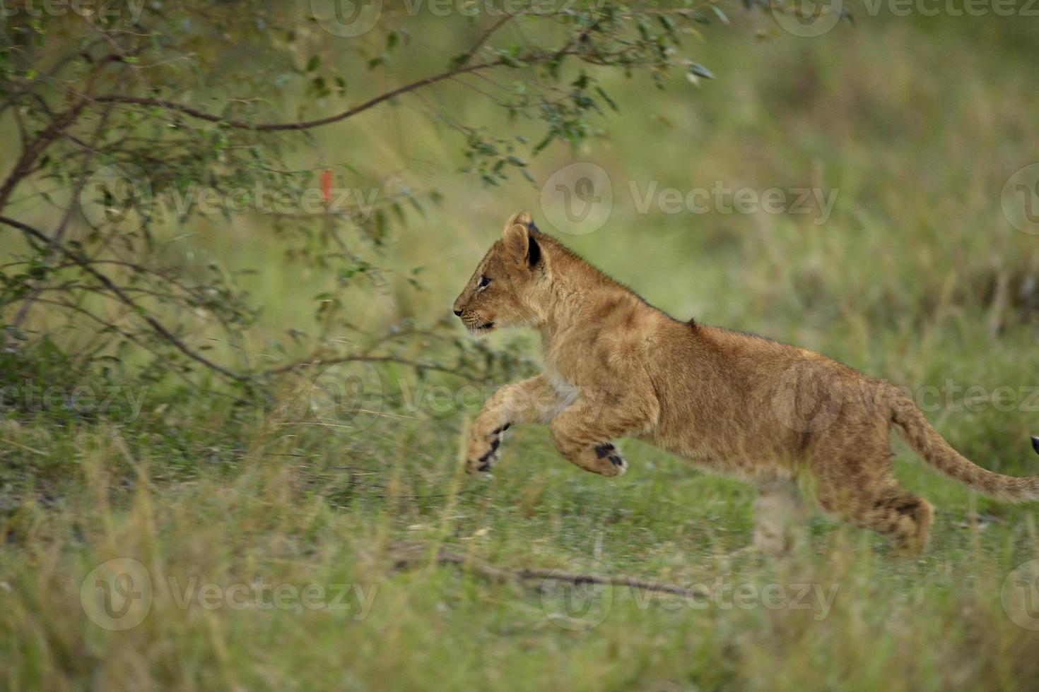 verspielte Löwen foto