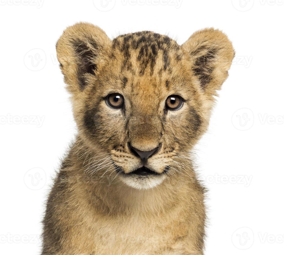 Nahaufnahme des Löwenjungen, der Kamera betrachtet, 10 Wochen alt foto