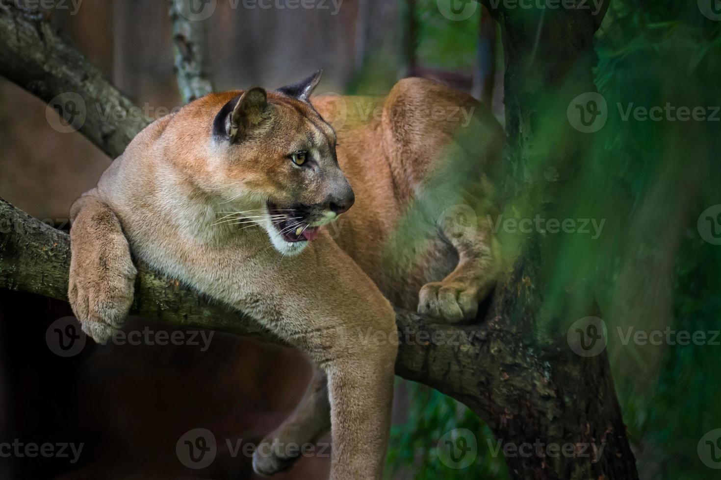 Berglöwe; Puma foto
