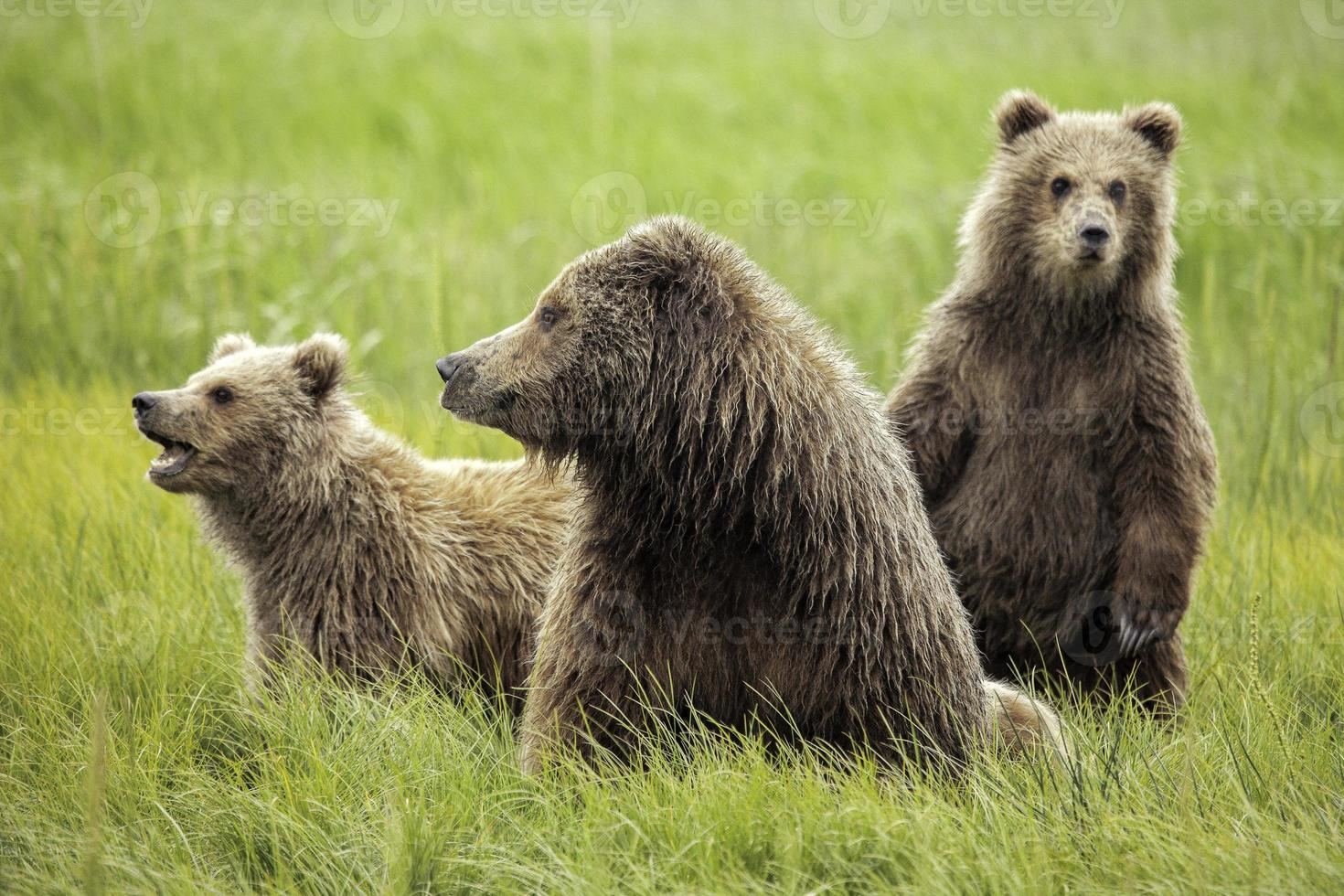Grizzlybären foto