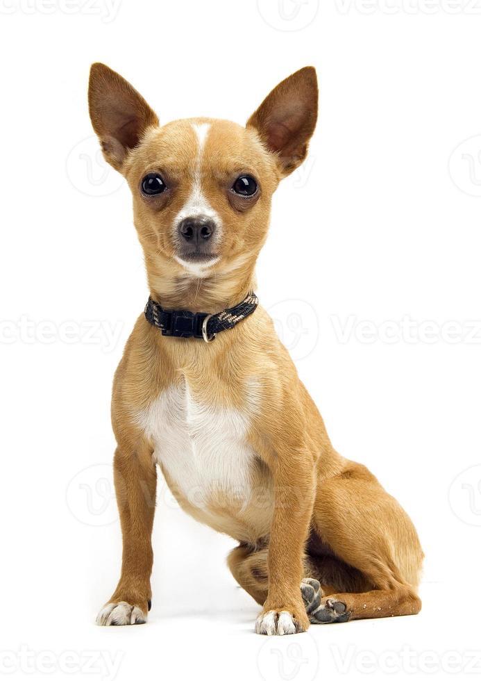 Chihuahua isoliert auf Weiß foto