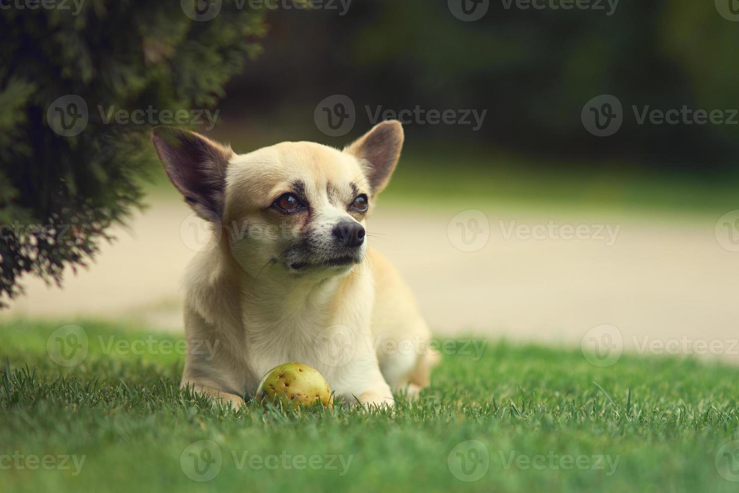 süßer kleiner Chihuahua-Hund foto