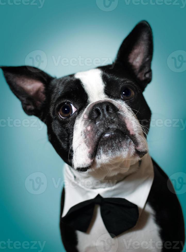 Boston Terrier in Fliege foto