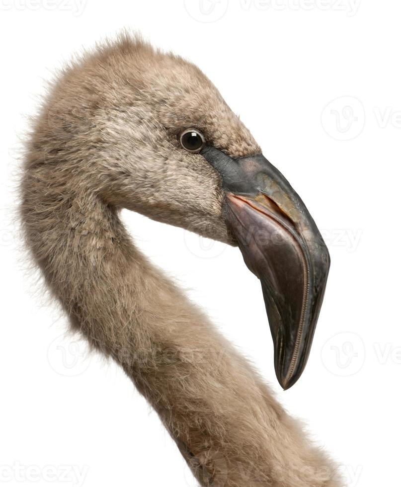 Nahaufnahme des chilenischen Flamingos, Phoenixicus chilensis foto