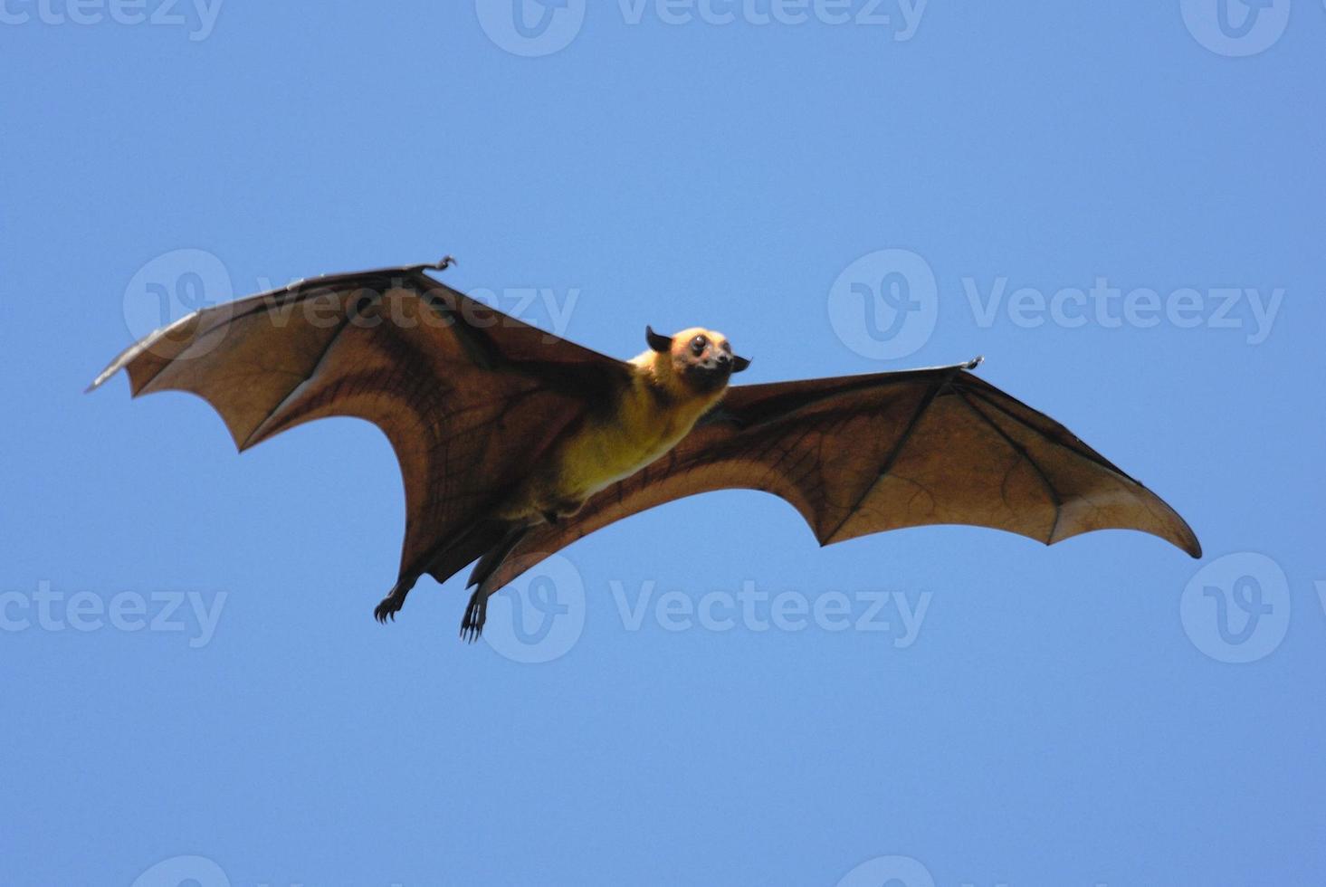 Flughund (Pteropus giganteus) in Sri Lanka foto