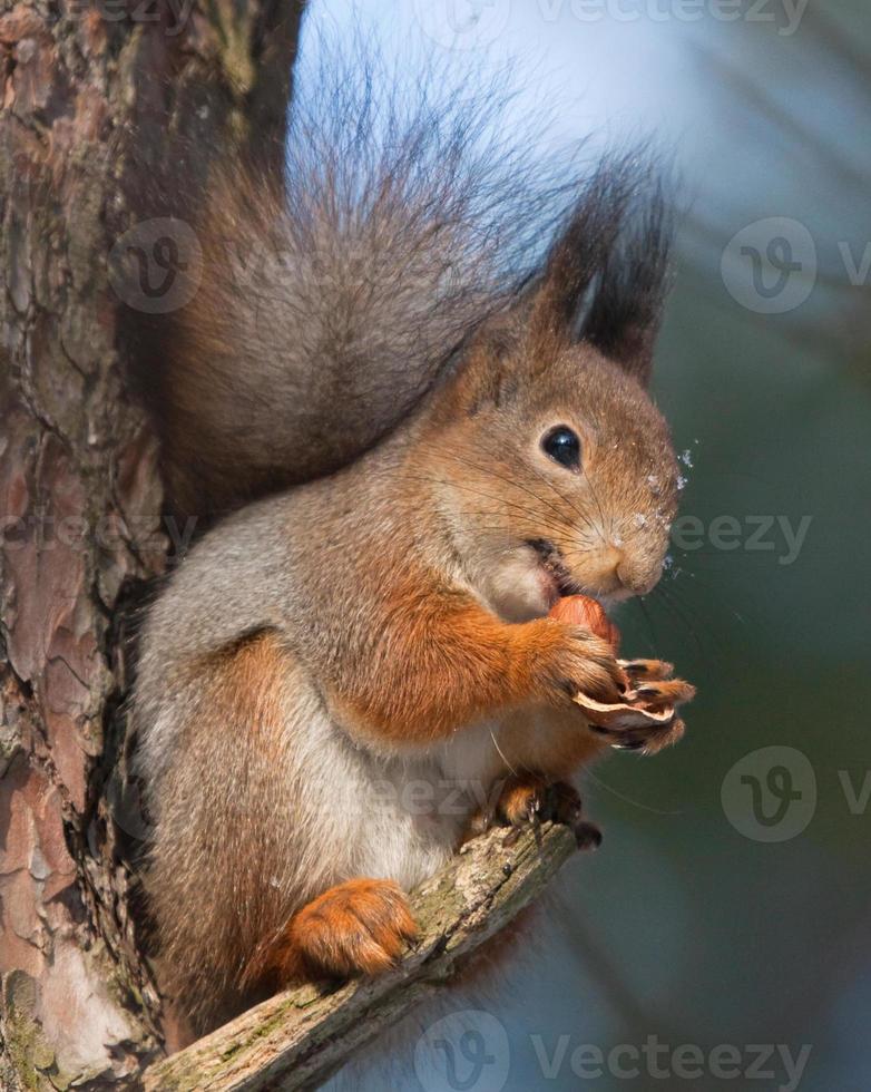 Eichhörnchen auf Ast der Kiefer mit einer Haselnuss foto