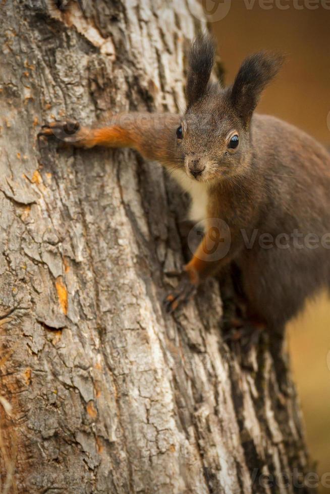 rotes Eichhörnchen auf einem Baum foto