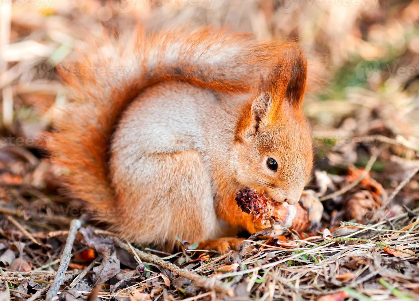 rotes Eichhörnchen nagt Kegeltanne foto