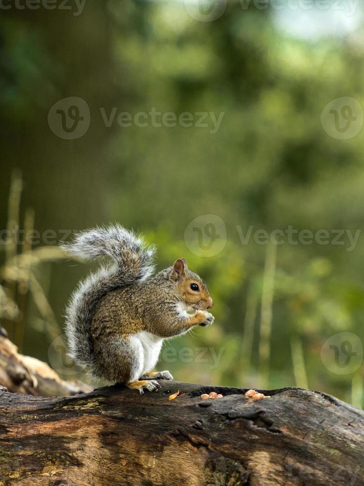junges graues Eichhörnchen (Sciurus carolinensis) foto