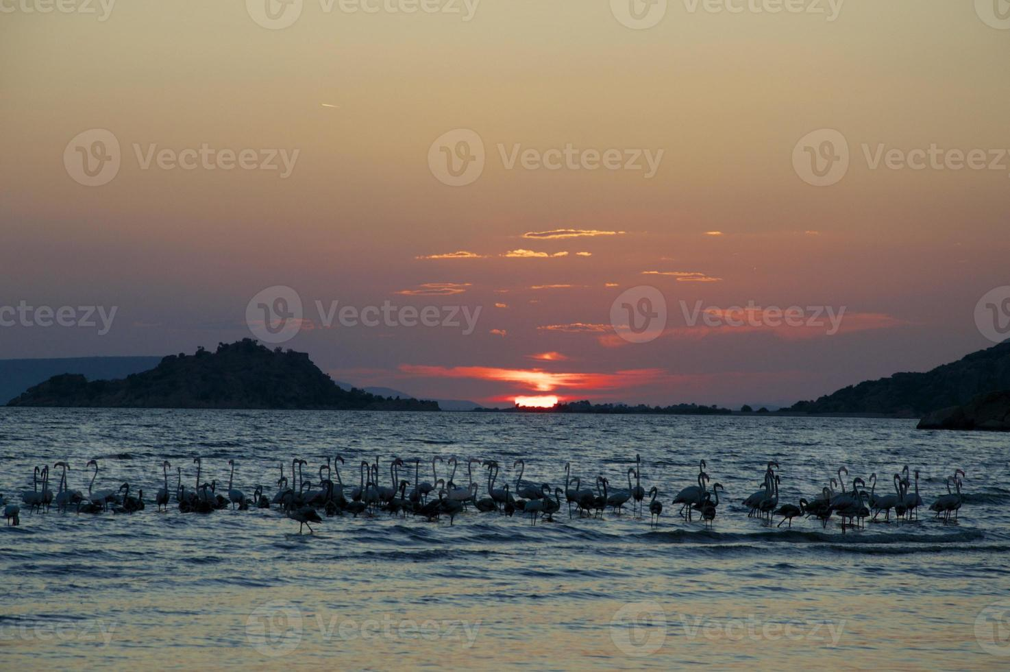 Flamingos (Phönicopterus) im Sonnenuntergang foto