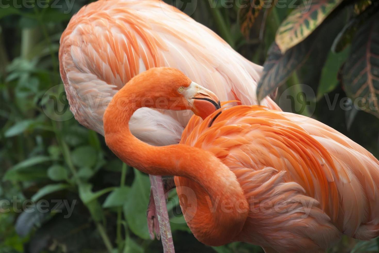 zwei karibische Flamingos foto