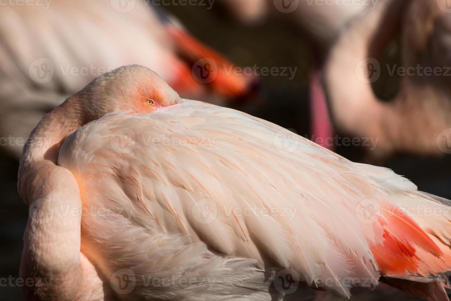 größerer Flamingo foto