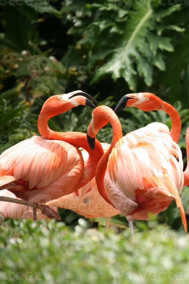 Flamingos sozialisieren foto