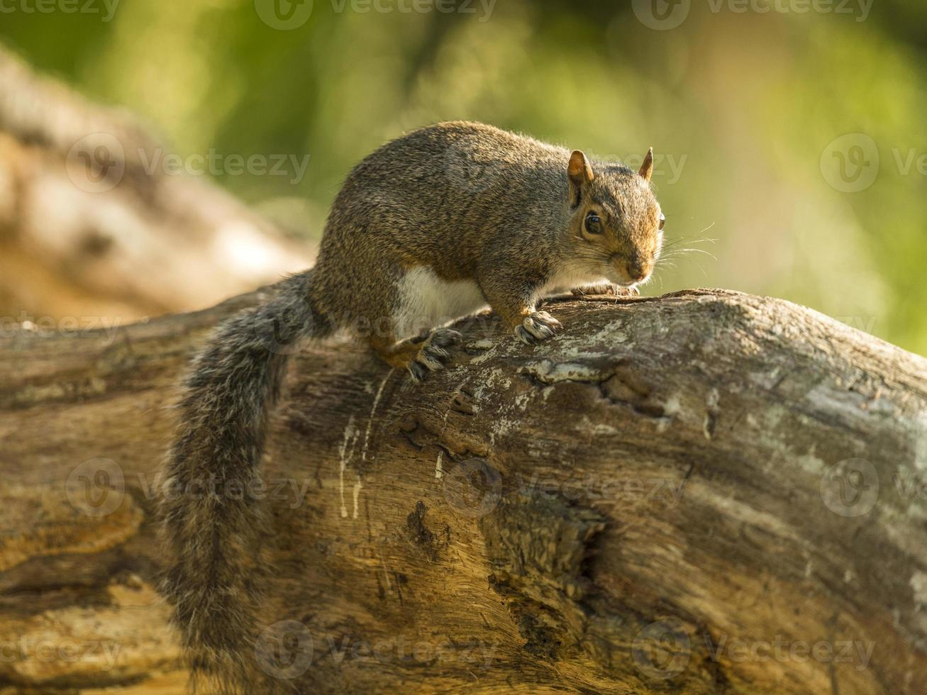 graues Eichhörnchen (Sciurus carolinensis) foto