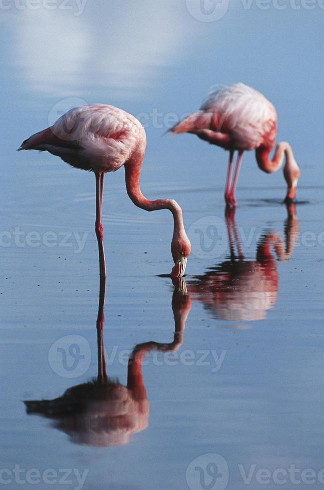 größere Flamingos foto
