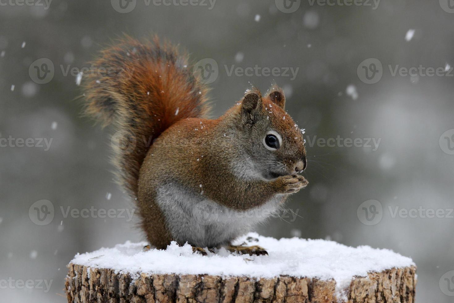 Rotes Eichhörnchen frisst Samen foto
