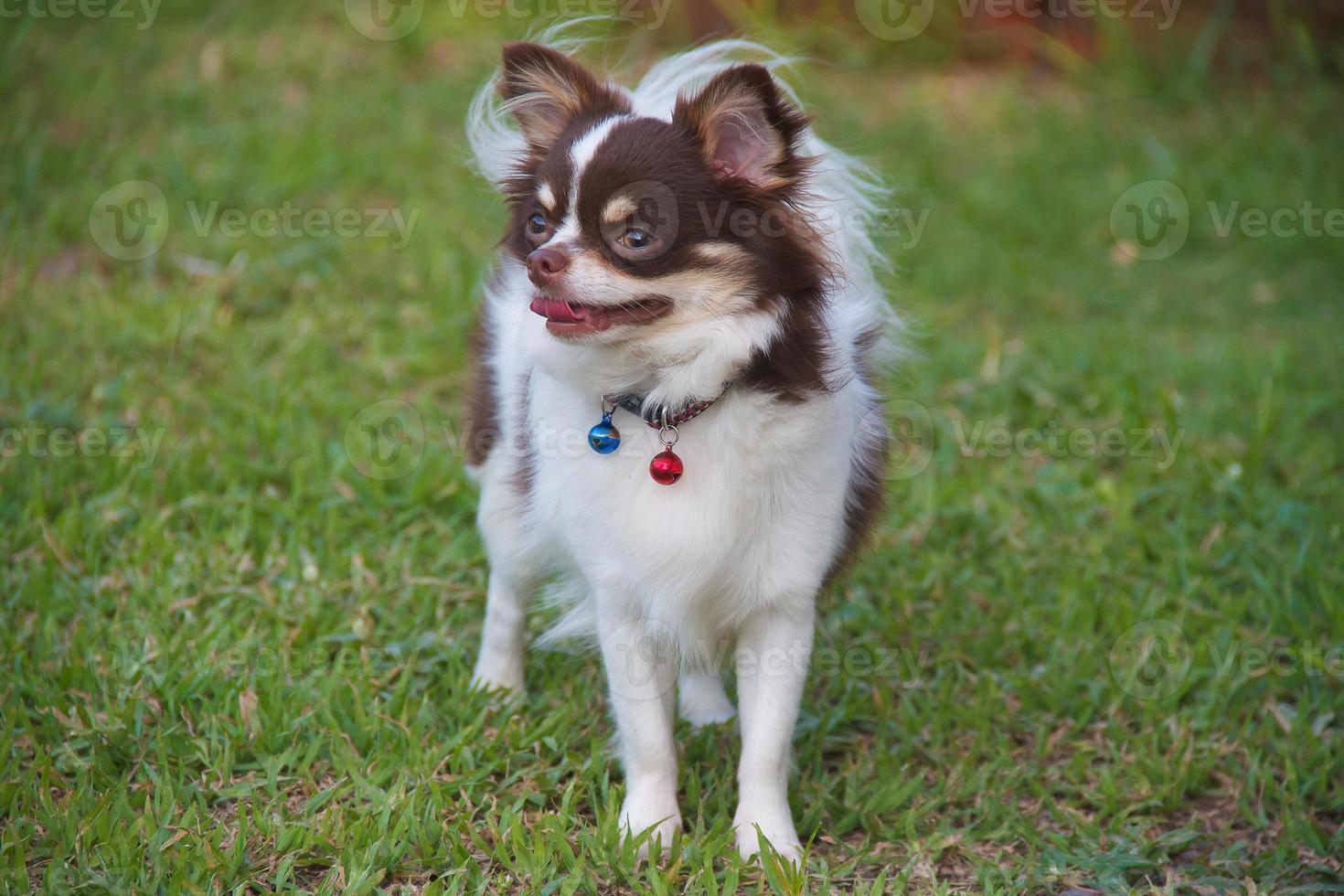 weiß mit Schokoladen-Chihuahua auf Gras. foto