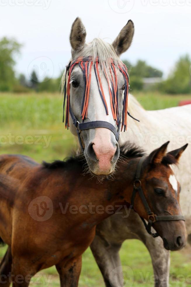 reinrassige arabische Stute, die mit ihrem Hengstfohlen auf der Weide weidet foto