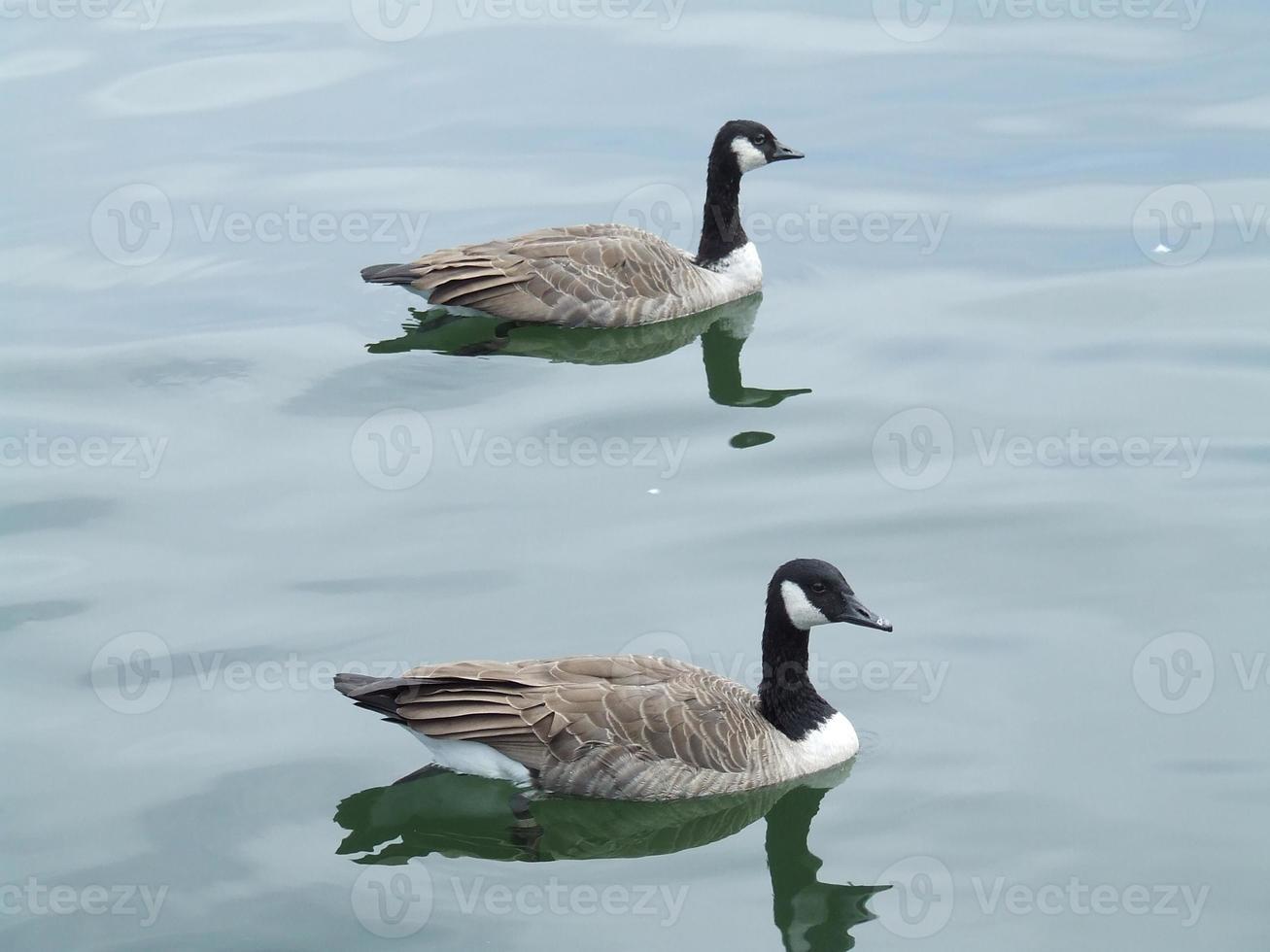 Kanadagänse schwimmen foto