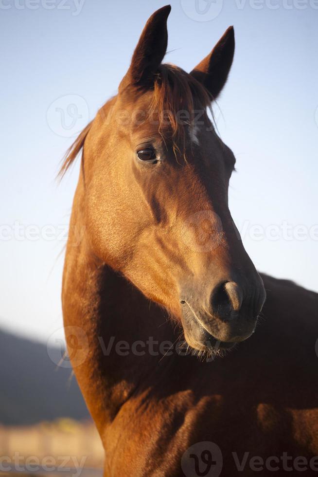 friedliche Stute Pferdekopf Schuss Seitenansicht Sommerzeit foto