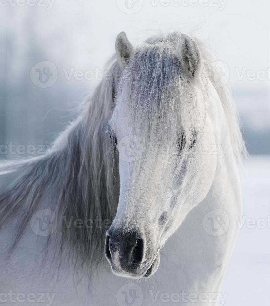 weißes walisisches Pony foto