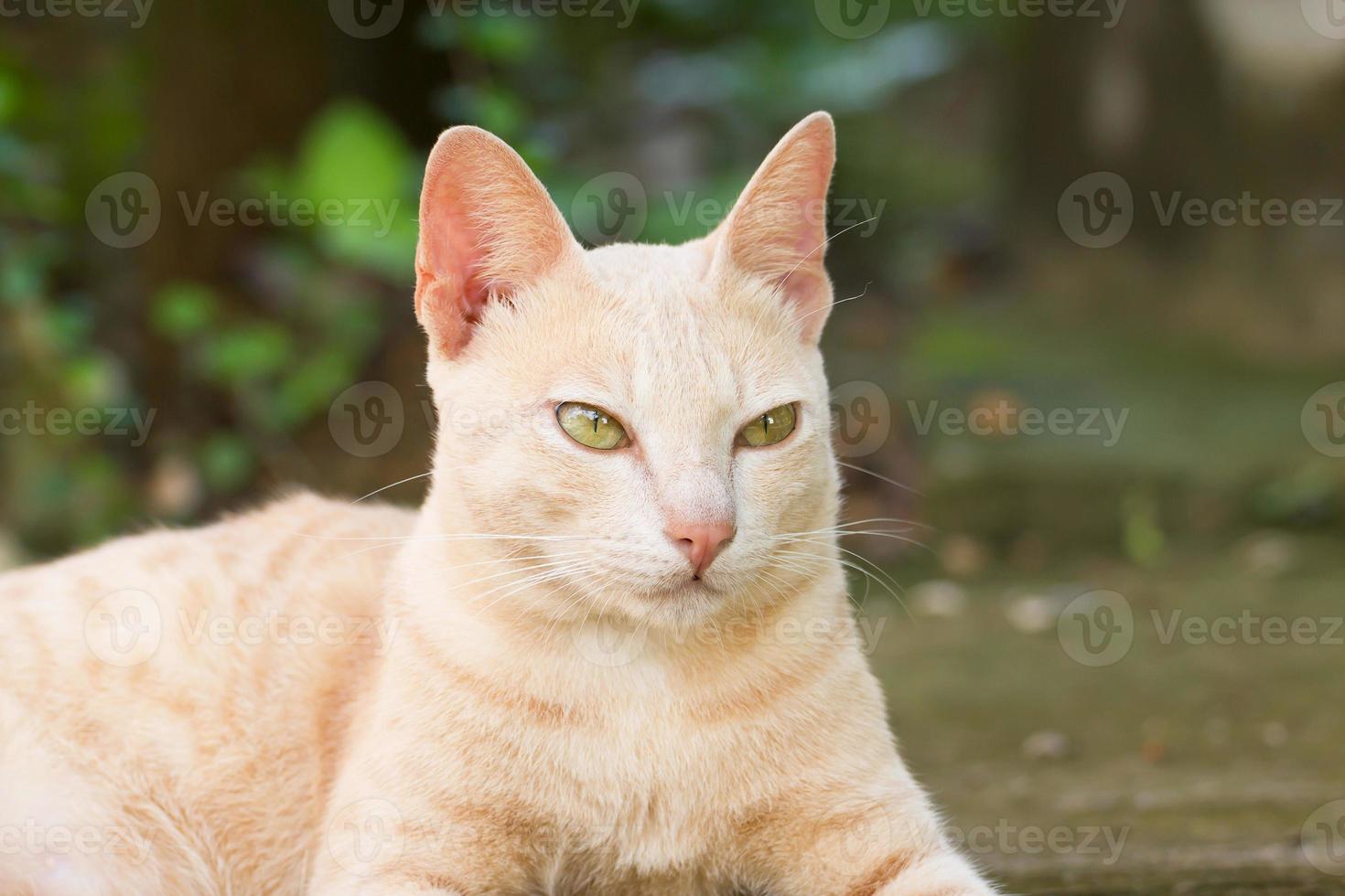 Bengalkatze foto