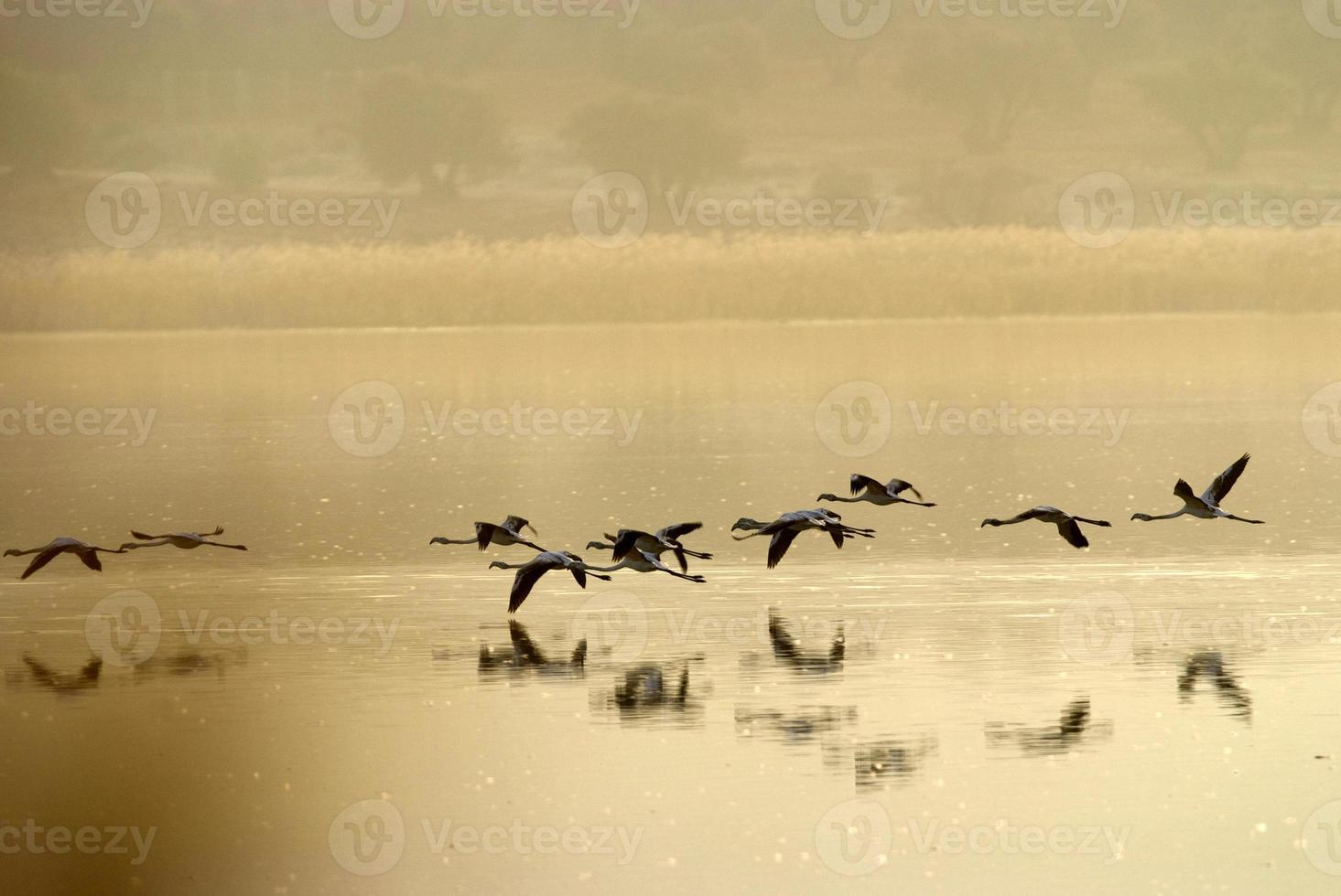 Flamingos (Phönicopterus) in der Laguna de Calderon, Moral de Calatrava. foto