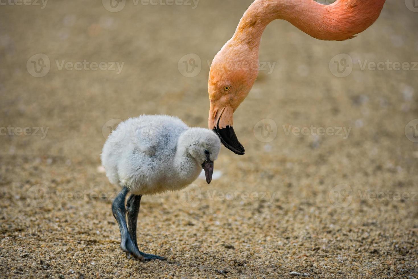 Vogelbaby des amerikanischen Flamingos mit seiner Mutter. foto