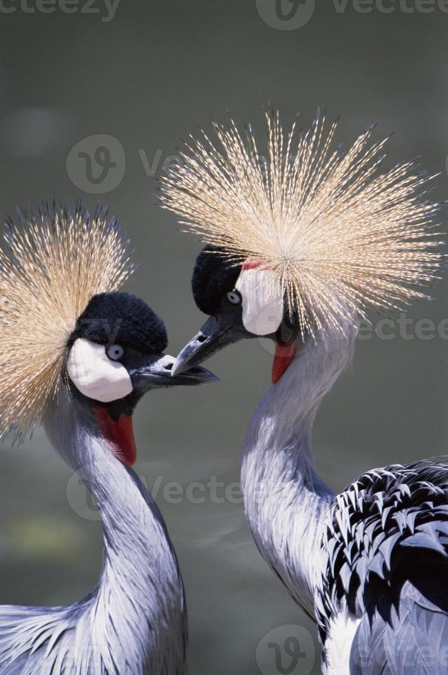Flamingos schauen sich an foto