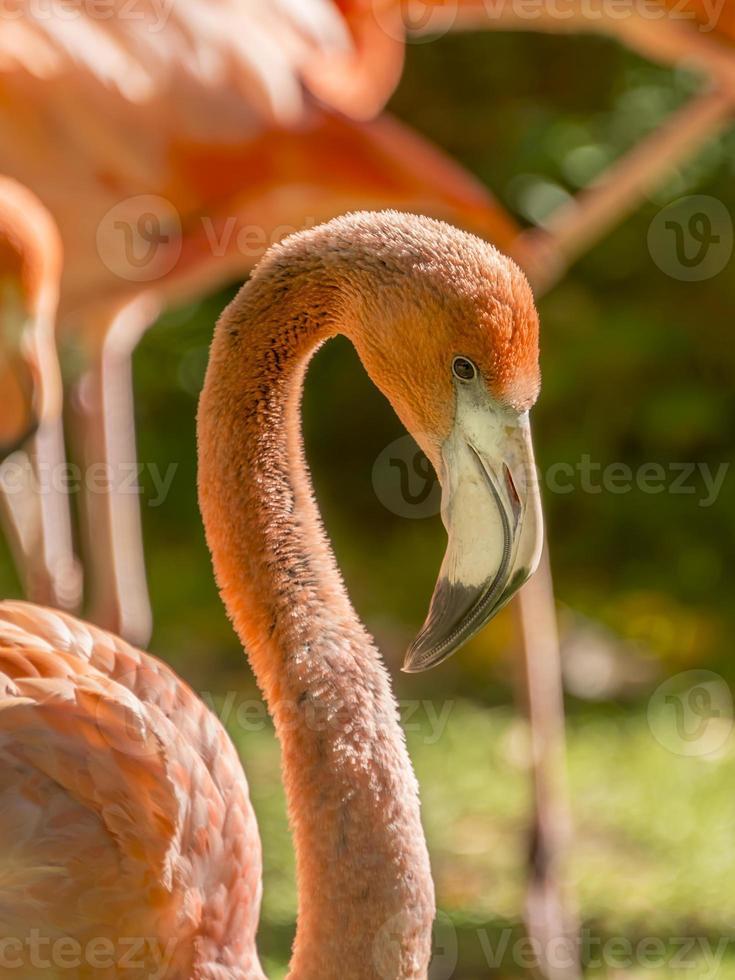Pflege eines größeren männlichen Flamingos (phoenicopterus ruber) foto