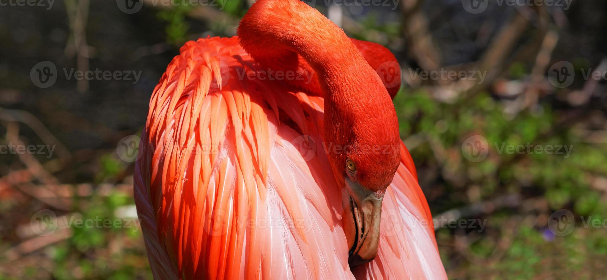 schöner rosa Flamingo. foto