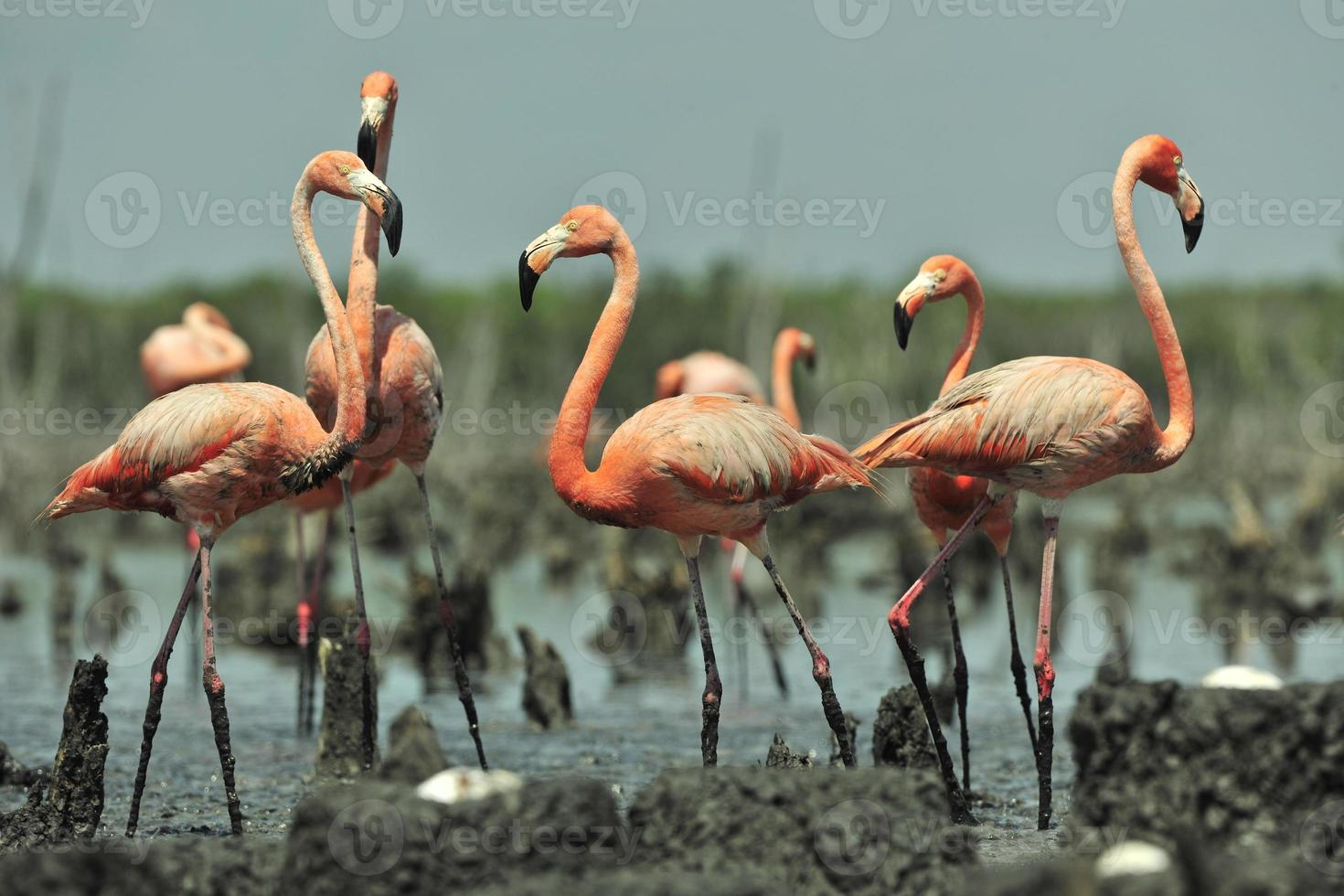 großer Flamingo (phoenicopterus ruber) foto