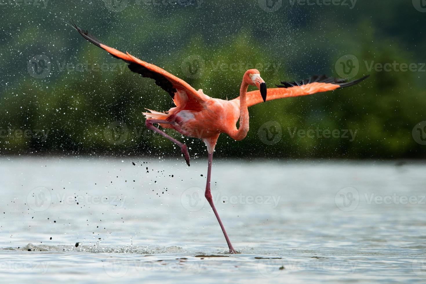 Der Flamingo läuft auf Wasser mit Spritzern foto
