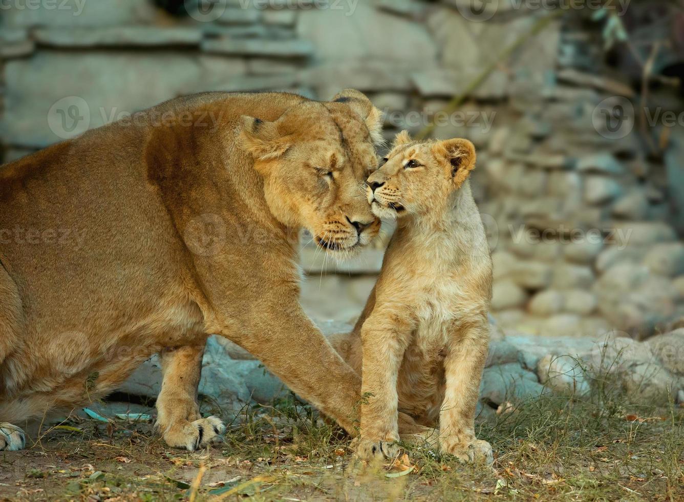 Löwin mit ihrem kleinen Jungen foto