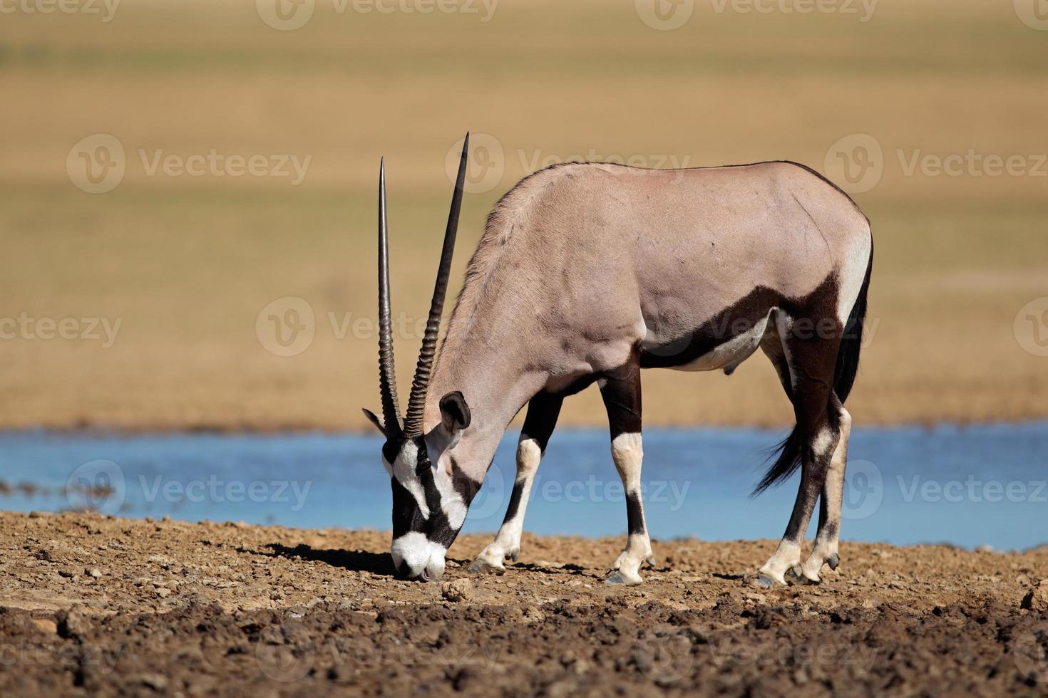 Gemsbok Antilope foto