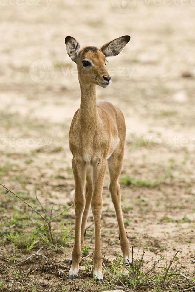 Porträt eines Baby Impala in der Savanne foto