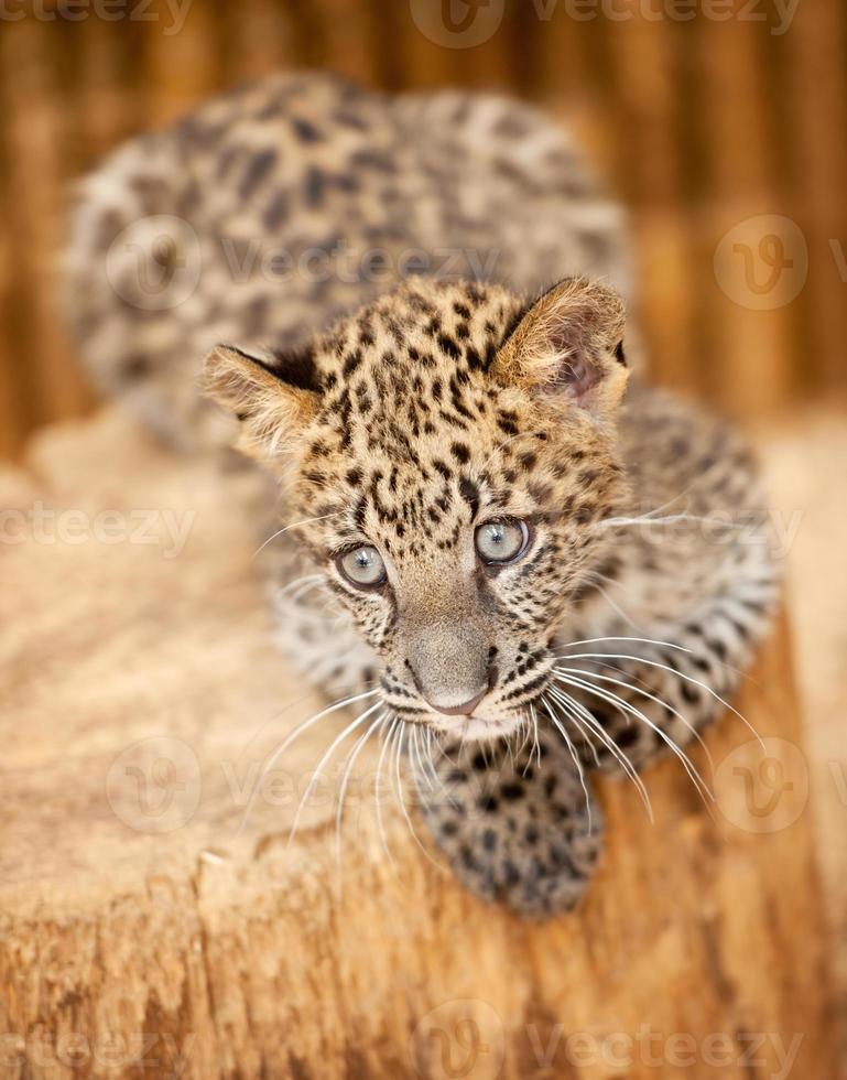 Leopardenjunges Porträt (xxxl) foto