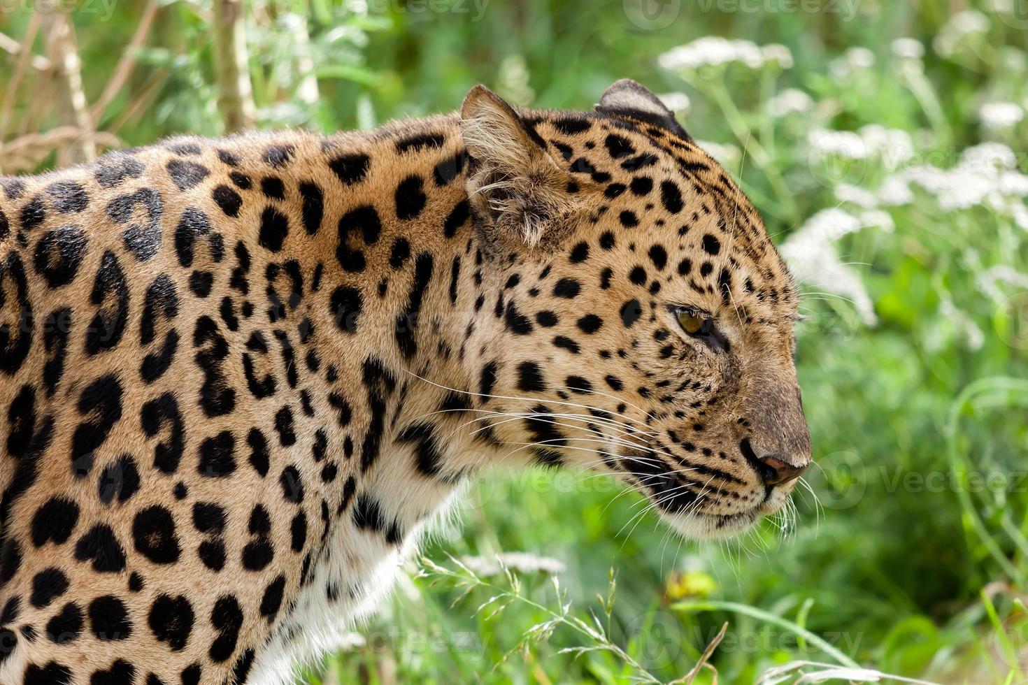 Profilkopfaufnahme des von hinten beleuchteten Amur-Leoparden foto