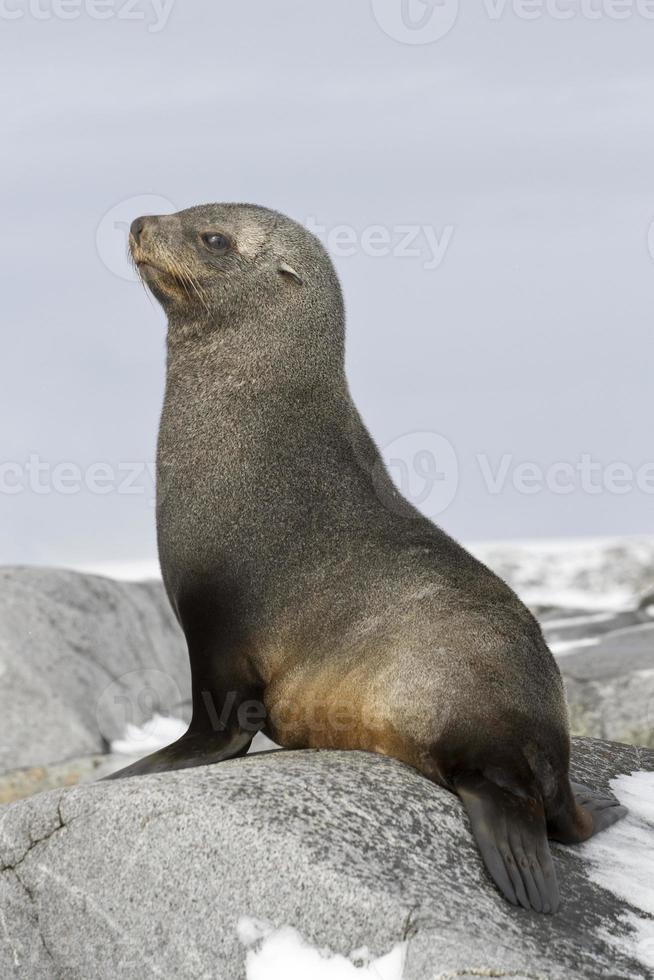 junge Pelzrobbe sitzt auf den Felsen foto