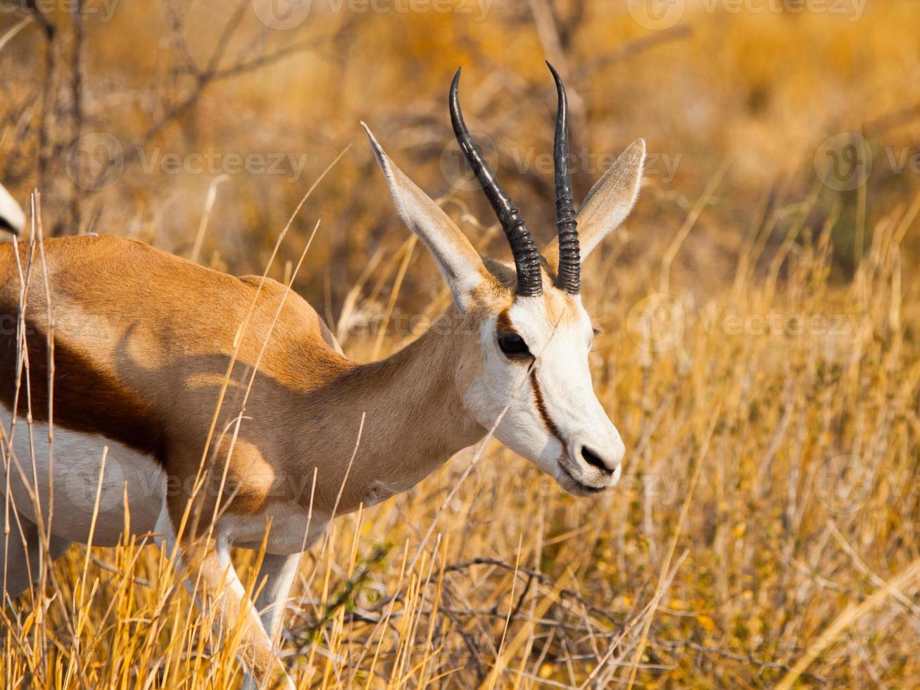 männlicher Impala, der in der Savanne geht foto