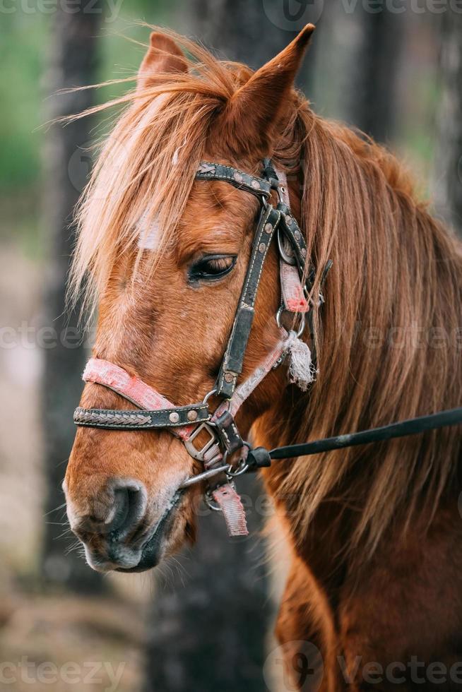 Nahaufnahmeporträt des braunen Pferdes foto