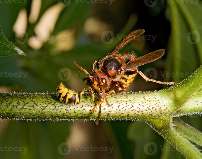 Riesenhornisse tötet Wespe foto