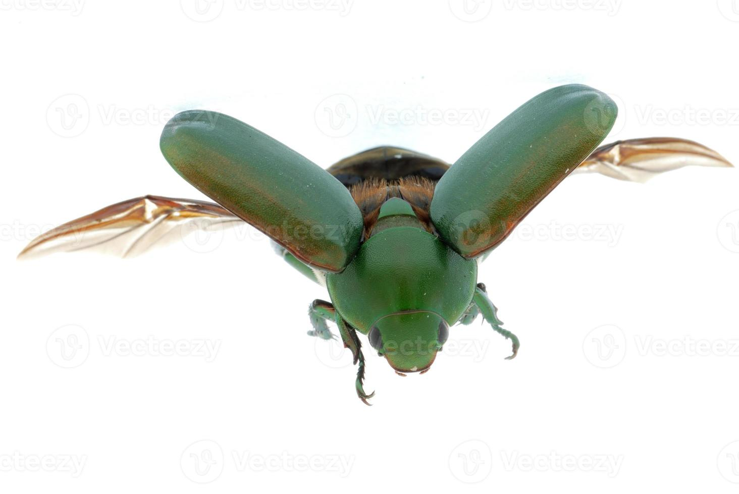 grüner Käfer des fliegenden Insekts lokalisiert auf Weiß foto